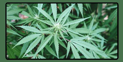 Does CBD Taste Like Weed?